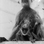 Carol Yarrow – Mother Monkey and Daughter